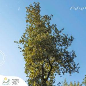 A tree is beautiful - www.amalficoastslands.it